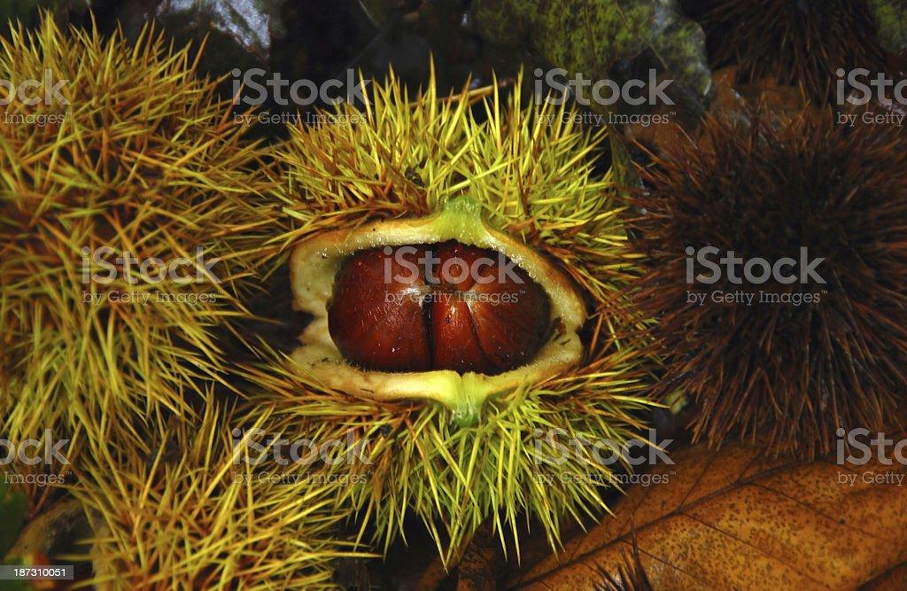 Chestnut inside of a Husk. royalty-free stock photo
