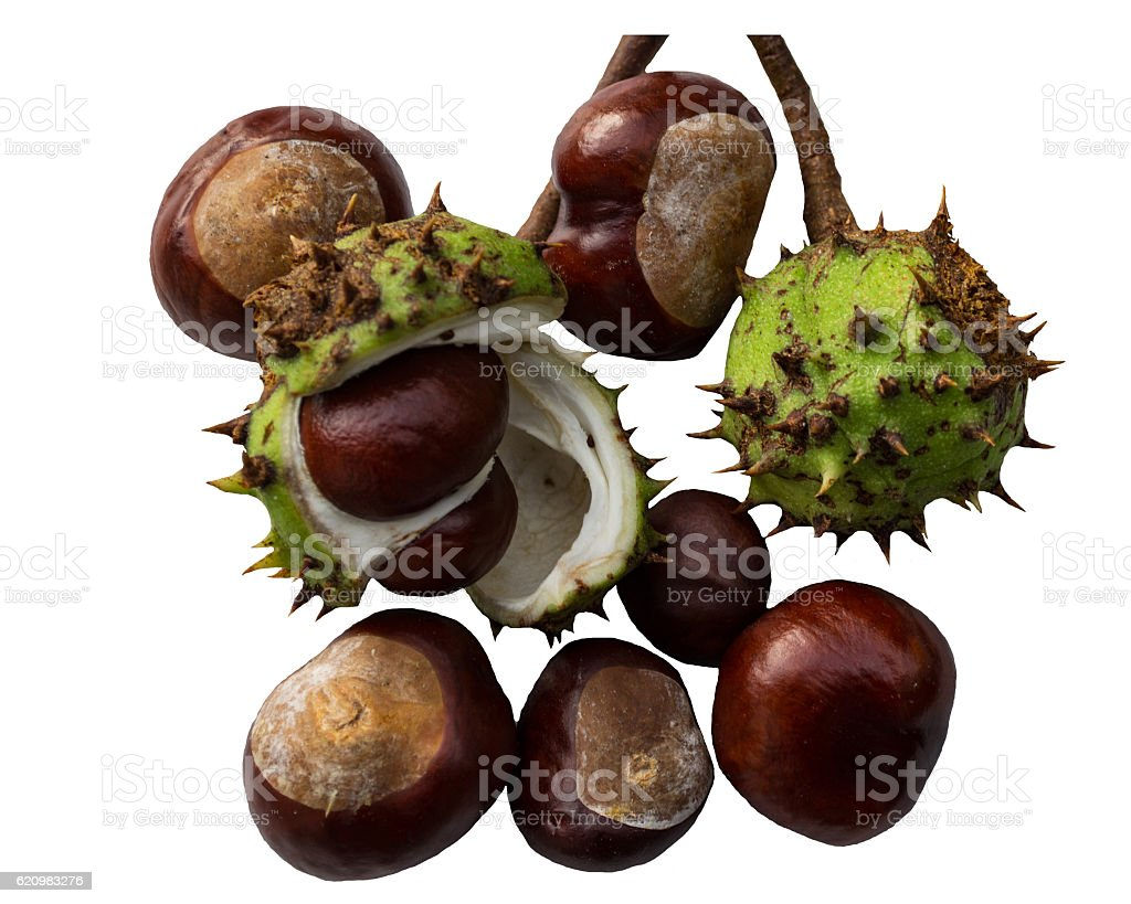 chestnut isolated foto royalty-free