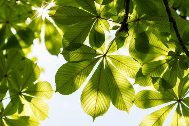 Chestnut leaves and sunny sky. Aesculus hippocastanum stock photo