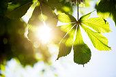 Chestnut leaves in springtime against sunlight
