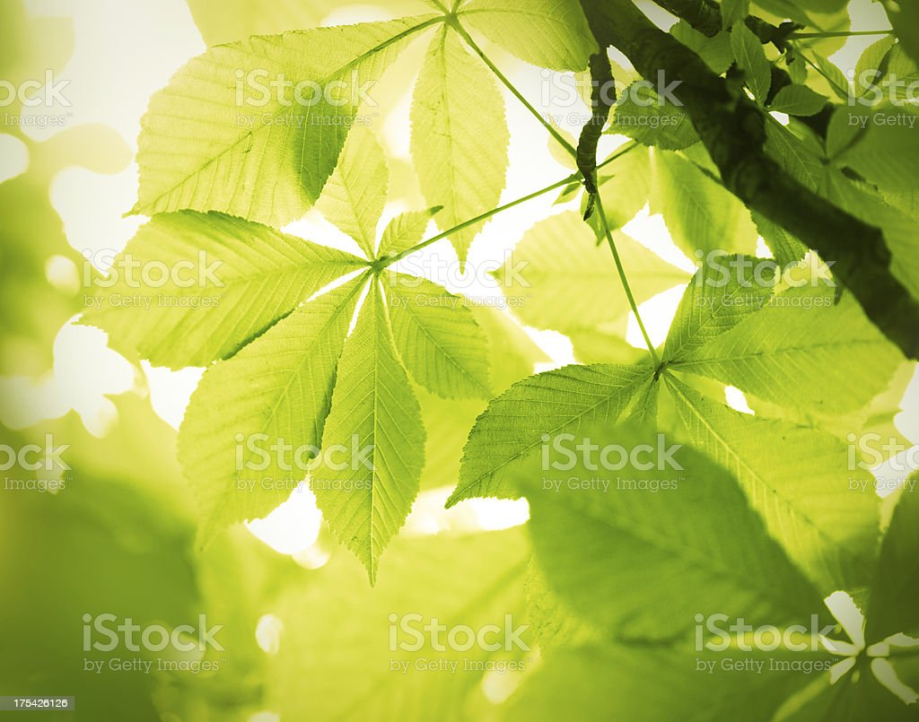 chestnut leaves royalty-free stock photo