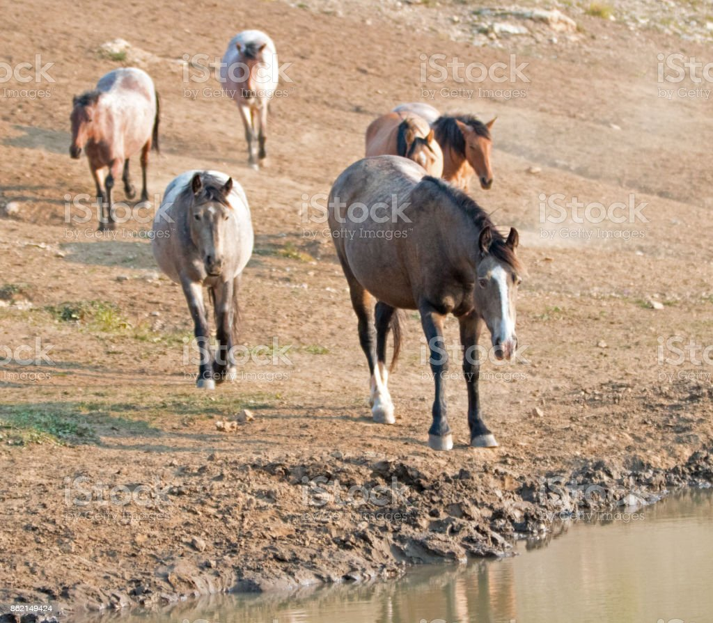 Chestnut liver bay roan coming to the water hole with herd of wild horses at the waterhole in the Pryor Mountains Wild Horse Range in Montana United States stock photo