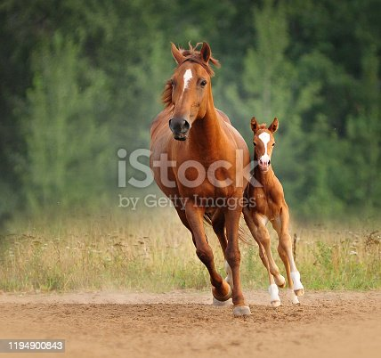 Chestnut mare and foal run free