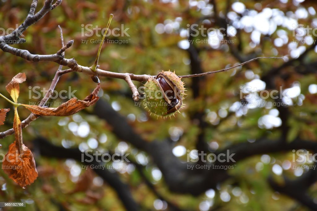 Chestnut on a branch royalty-free stock photo