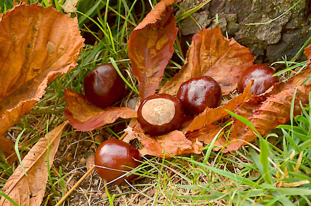 Chestnut on fallen chestnut leaf stock photo