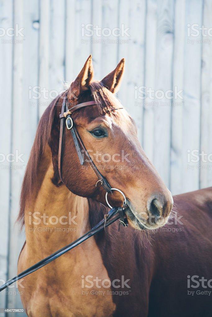 Chestnut quarter horse Porträt – Foto