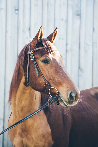 Chestnut quarter horse portrait stock photo