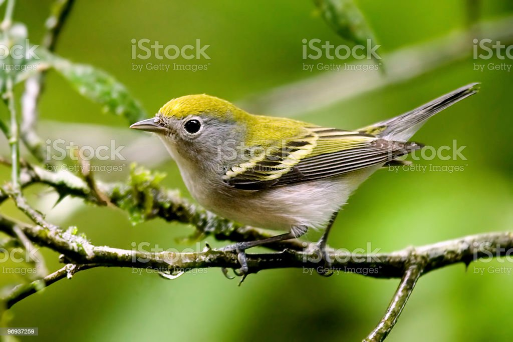 Chestnut sided warbler royalty-free stock photo