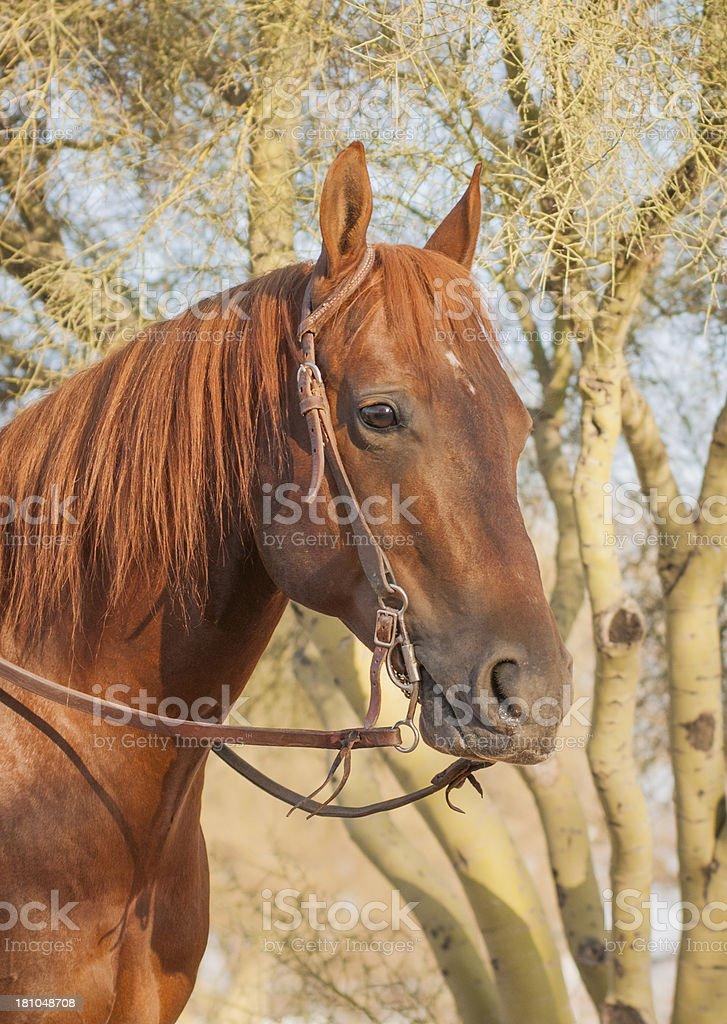 Chestnut sorrel horse Head royalty-free stock photo