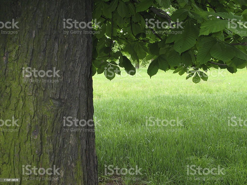chestnut tree and grass field royalty-free stock photo