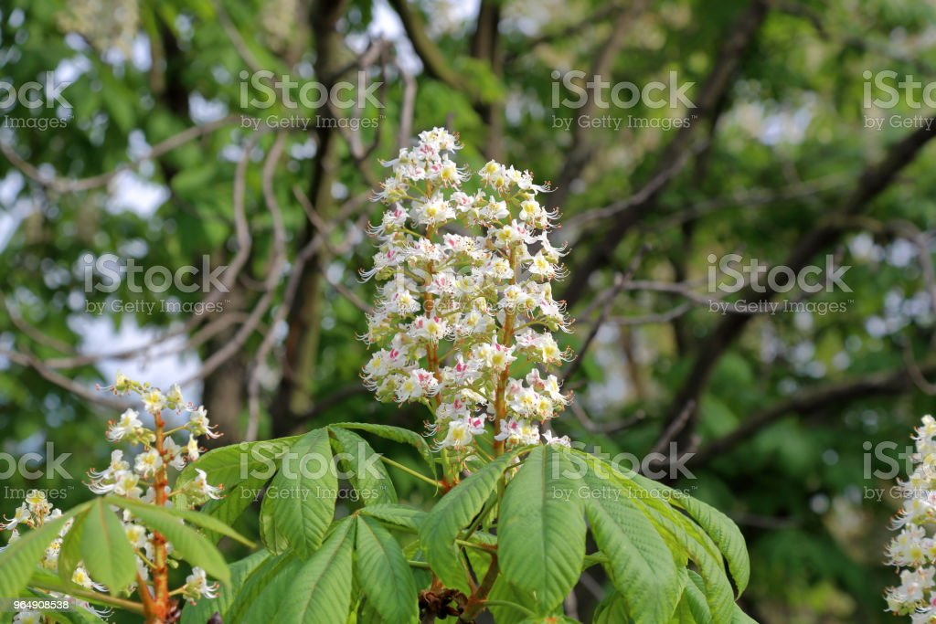 Chestnut tree flowers royalty-free stock photo
