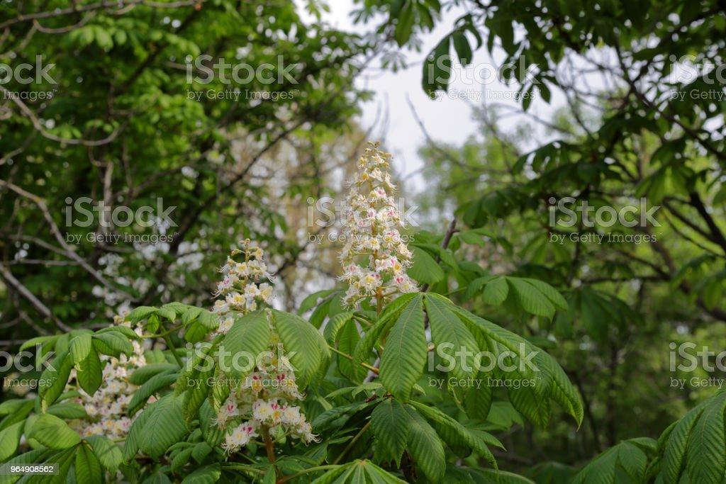 Chestnut tree flowers royalty-free stock photo
