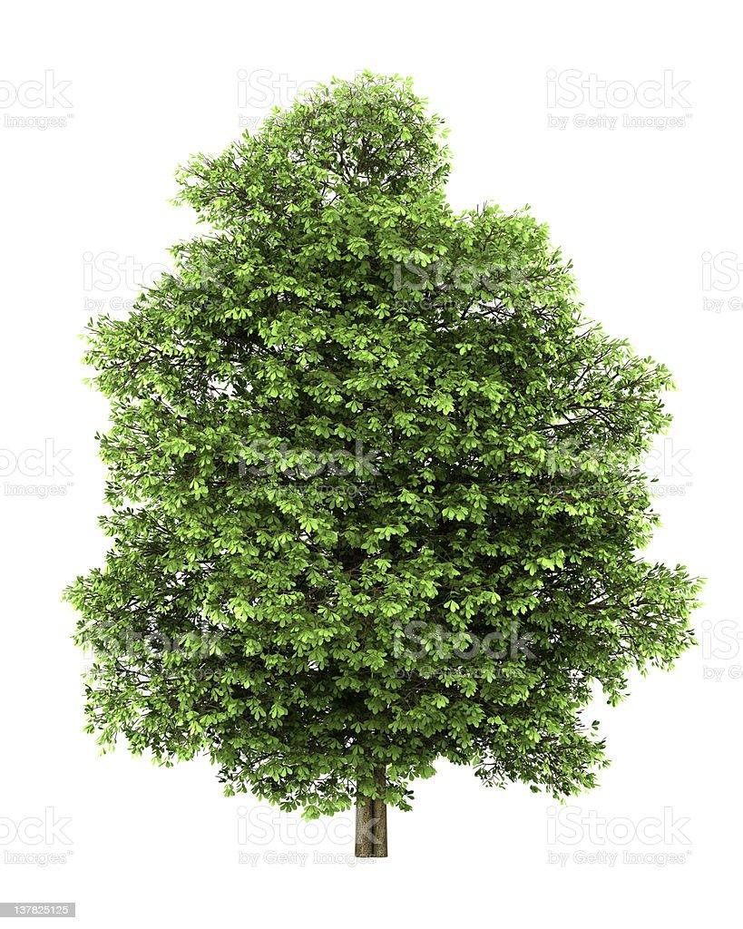 chestnut tree isolated on white background royalty-free stock photo