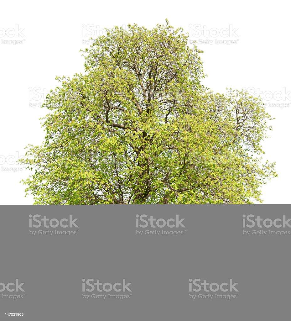 Chestnut tree isolated on white royalty-free stock photo
