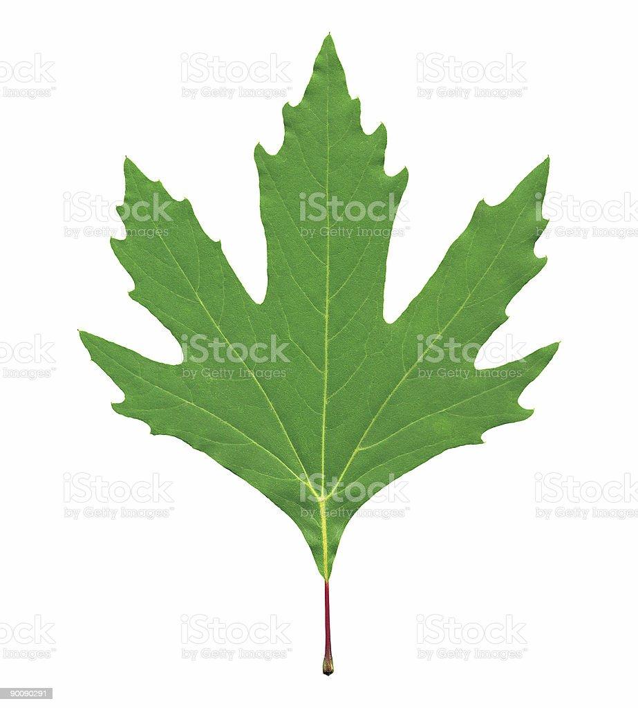 Chestnut tree leaf royalty-free stock photo