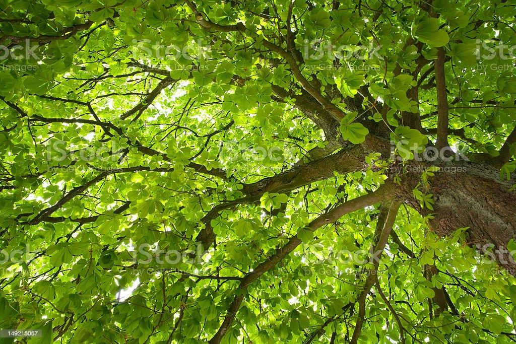 Chestnut tree royalty-free stock photo