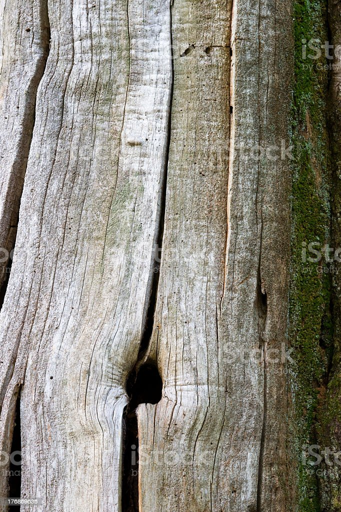 Chestnut tree royalty-free stock photo