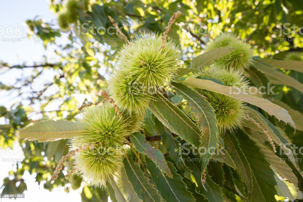 Chestnut tree. stock photo
