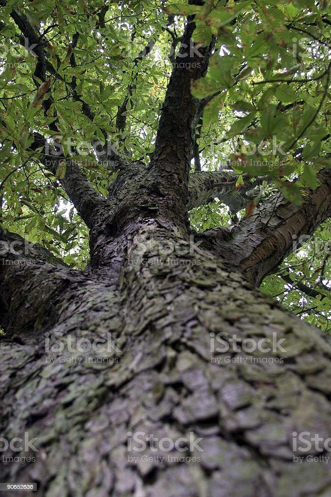 chestnut tree stock photo