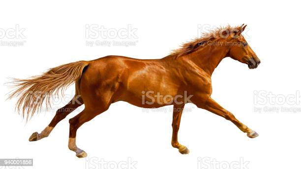 Chestnut young horse is galloping fast in the wild picture id940001856?b=1&k=6&m=940001856&s=612x612&h= ibwglolxlpacexu7d ysvcs bq 4jrfx0mhpqa4auk=