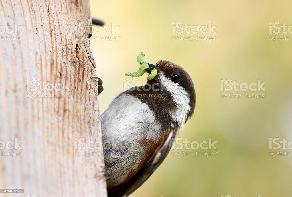 Chestnut-backed Chickadee, Canada stock photo