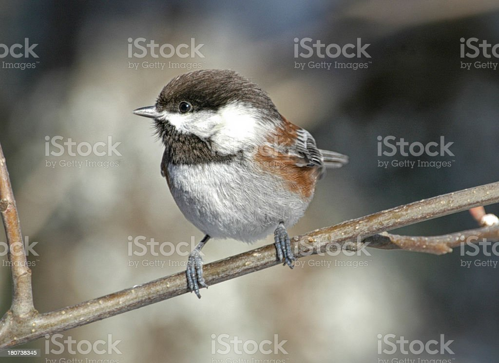 Chestnut-backed Chickadee royalty-free stock photo