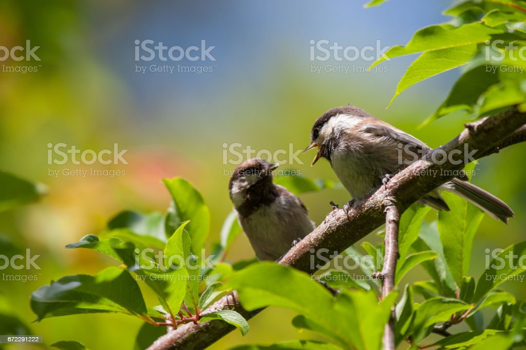Chestnut-Backed Chickadees Perched on Branch stock photo
