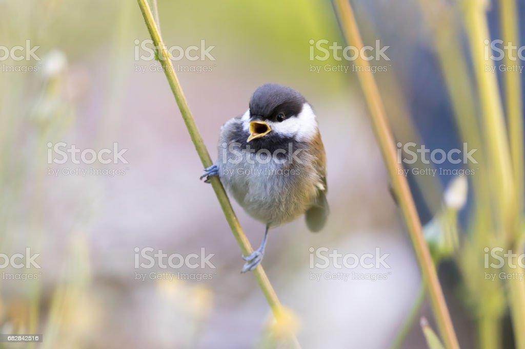 Chestnut-backed Chikadee (Poecile rufescens) whistling stock photo