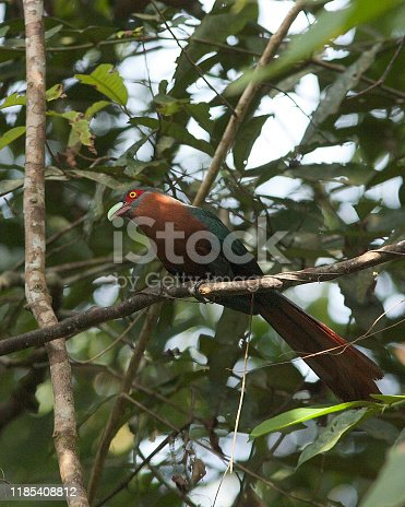 A Chestnut-breasted Malkhoa (Phaenicophaeus curvirostris) perches in secondary forest, Selangor, Malaysia