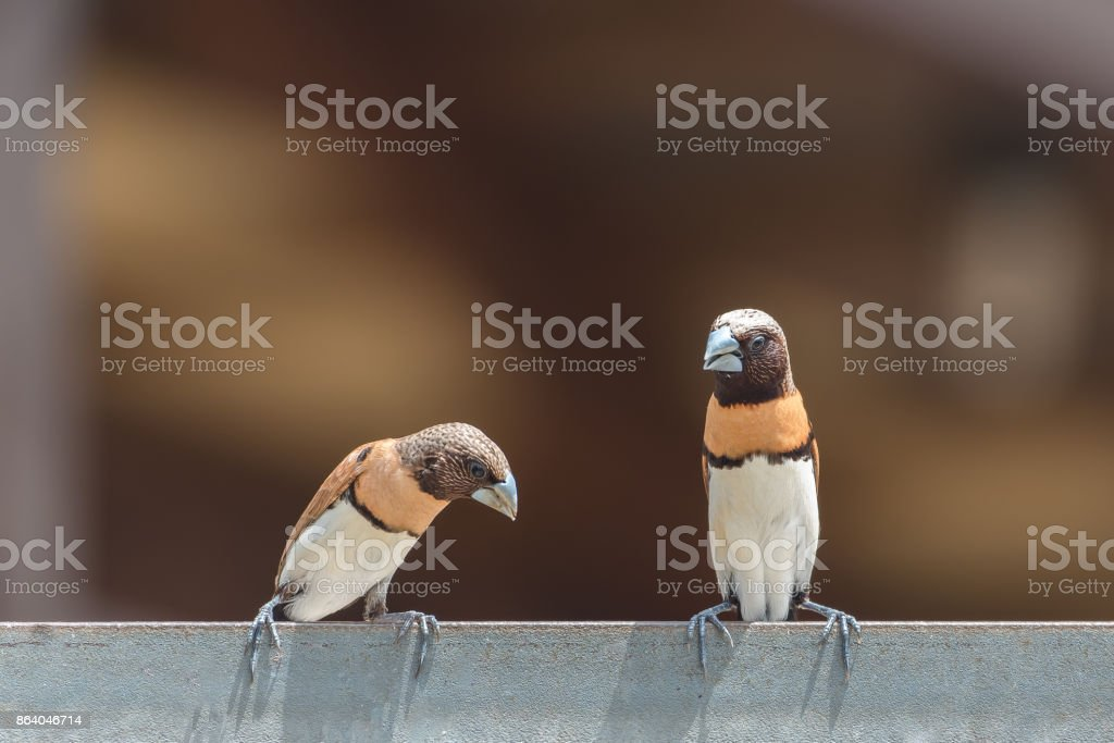 Chestnut-breasted Mannikin, two exotic birds stock photo
