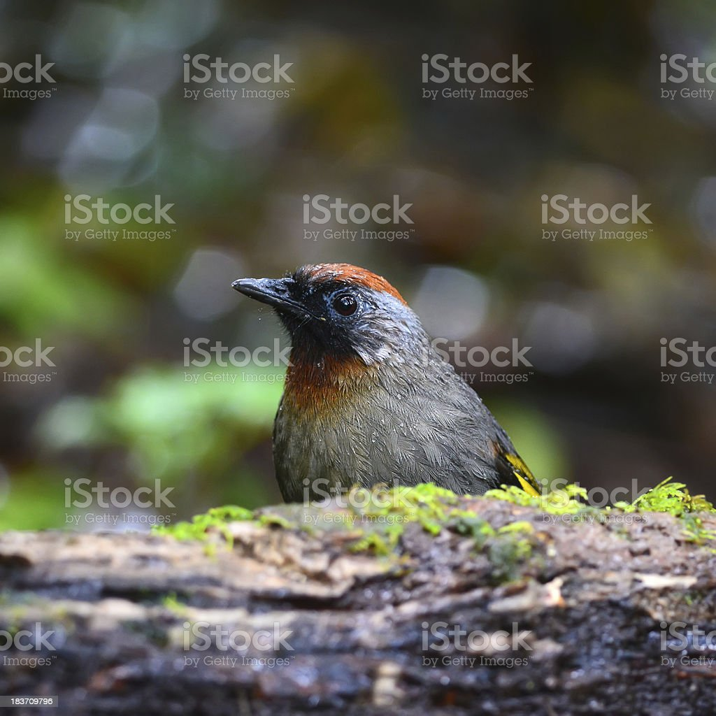 Chestnut-crowned Laughingthrush on log,thailand royalty-free stock photo