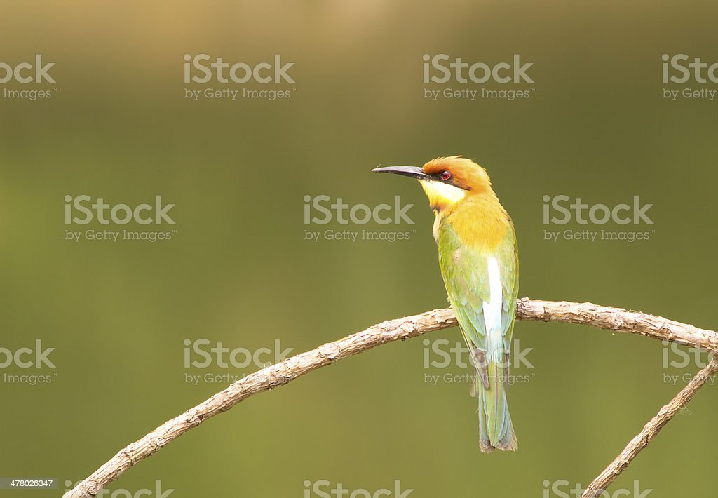 Chestnut-headed Bee-eater: Merops leschenaulti. royalty-free stock photo