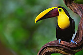 close-up of a chestnut-mandibled toucan  (ramphastos ambiguus swainsonii), also known as swainson's toucan in the rainforest of costa rica