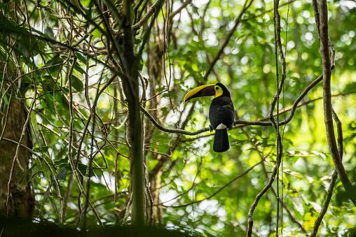 Names: chestnut-mandibled toucan, Swainson's toucan \nScientific name: Ramphastos ambiguus swainsonii\nCountry: Costa Rica\nLocation: Puerto Viejo de Sarapiquí