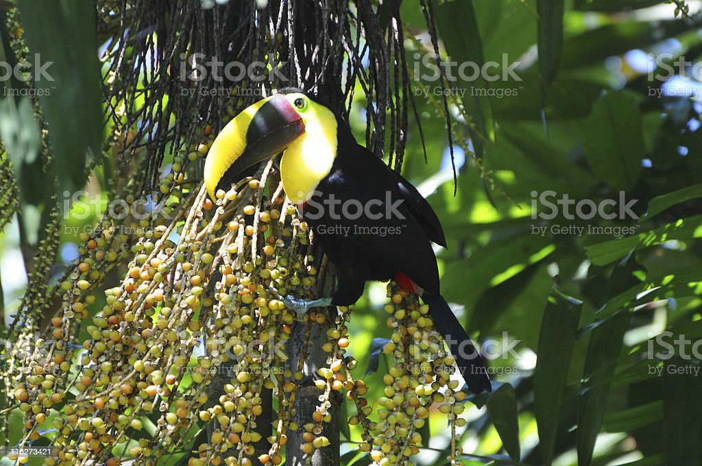 chestnut-mandibled toucan, Ramphastos swainsonii, eating dates in tree stock photo