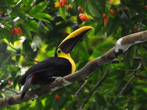 Chestnut-mandibled toucan,