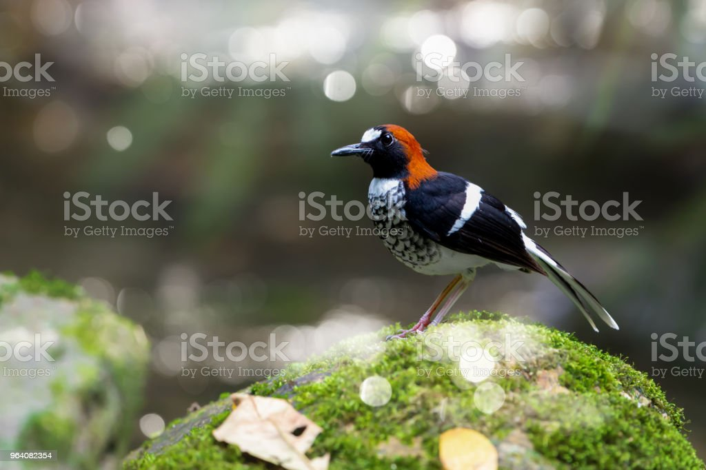 Chestnut-naped forktail standing on moss covered rock. - Royalty-free Animal Stock Photo