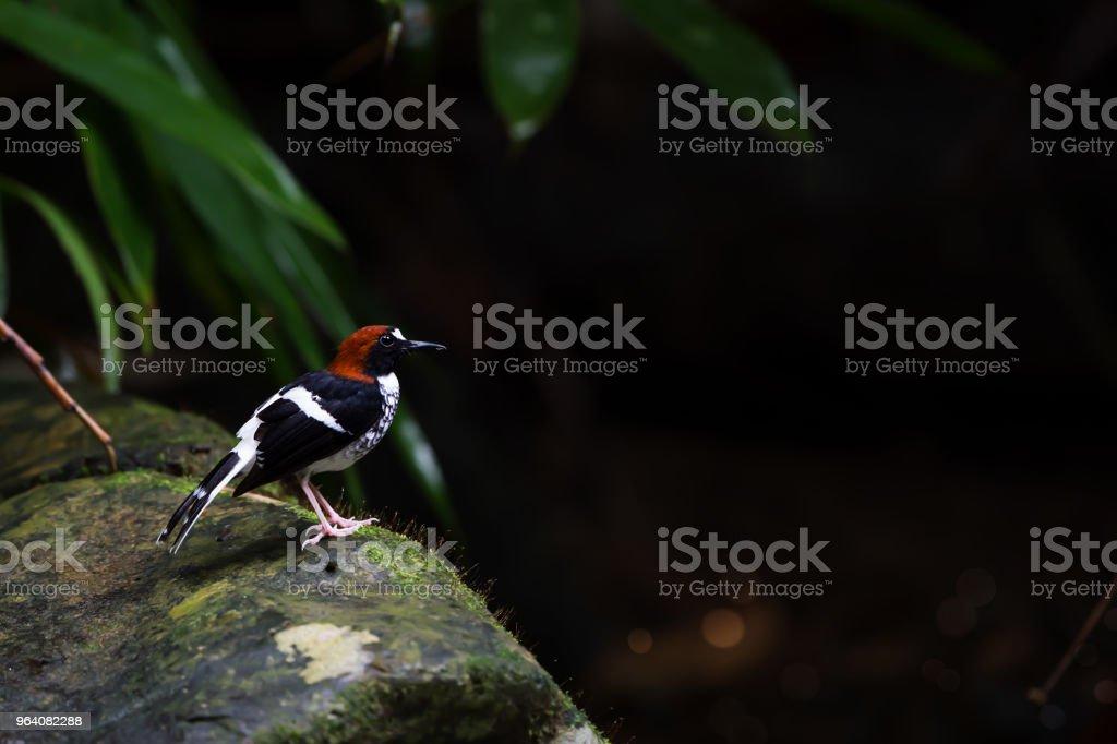 苔の上に立って栗-naped forktail には、苔むした岩の上立っている岩が覆われています。 - アジア大陸のロイヤリティフリーストックフォト