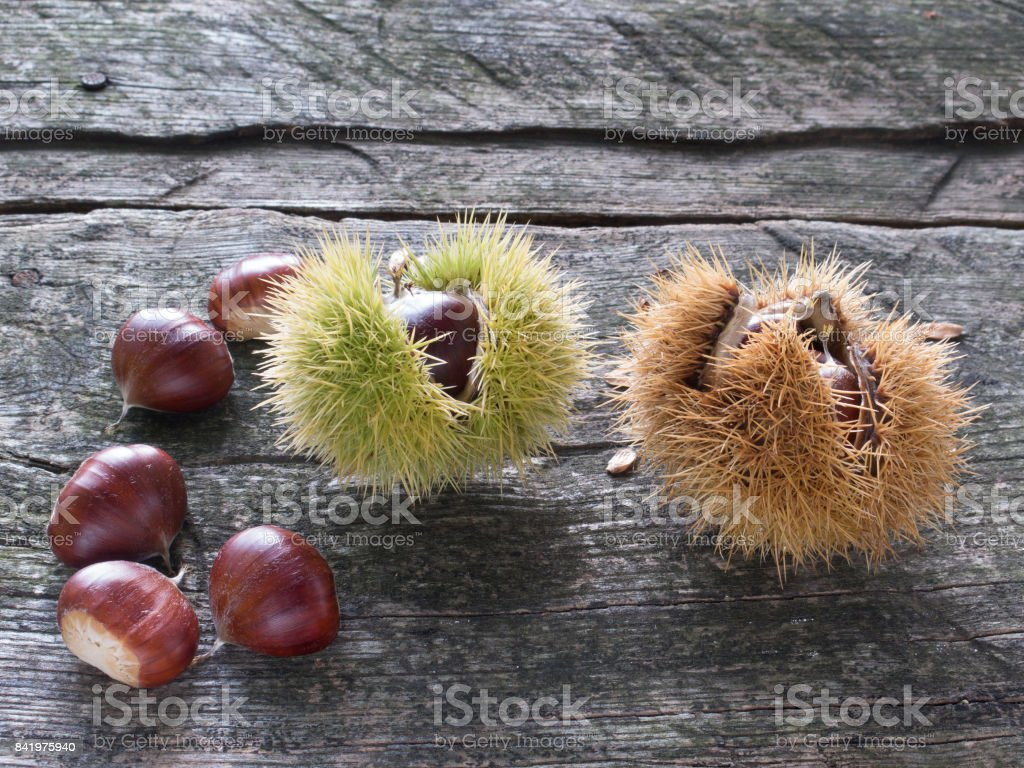 Chestnuts and burrs stock photo