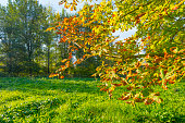 Chestnut leaves in sunlight at fall