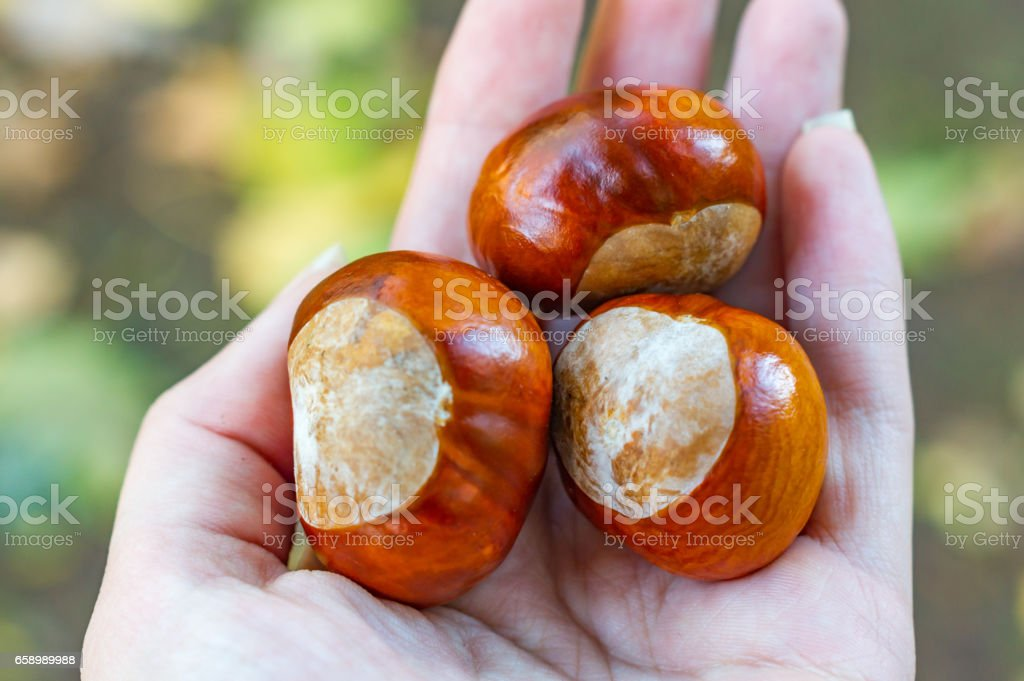 chestnuts on hand royalty-free stock photo