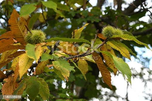 chestnuts on the branches in a beautiful chestnut forest in Tuscany during the autumn season before the harvest. Italy.