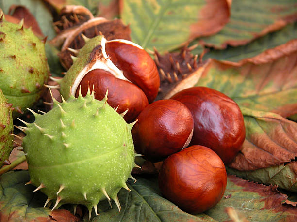 chestnuts seasonal cusp stock pictures, royalty-free photos & images
