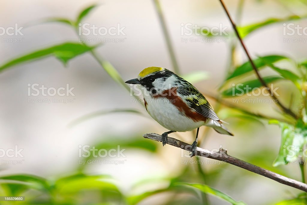 Chestnut-sided Warbler  royalty-free stock photo