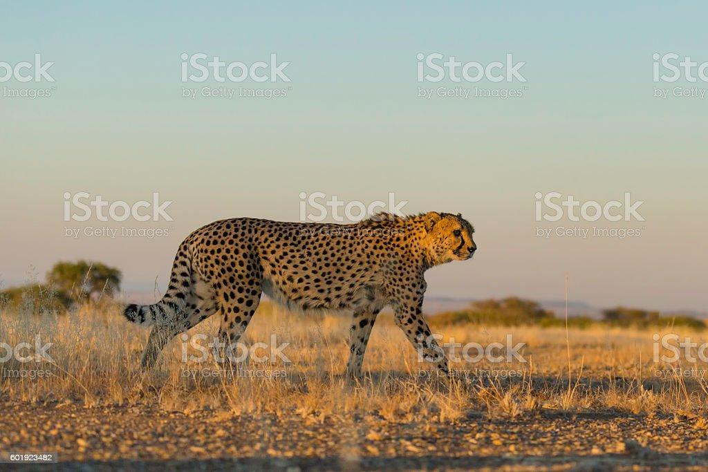 Chetah of Namibia stock photo