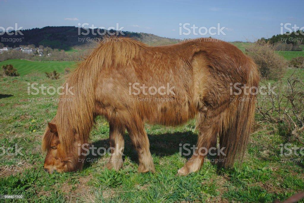 cheval bai aux poil long, en train de brouter. stock photo