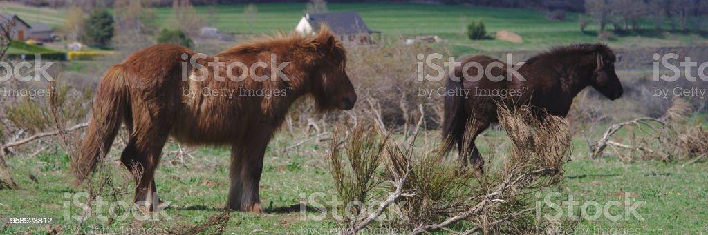 chevaux rustiques dans leur pré stock photo
