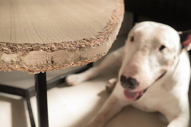 Chewed wooden table and Bull terrier dog stock photo