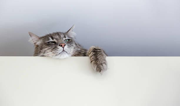 chewie die katze auf der obersten - katzenschrank stock-fotos und bilder