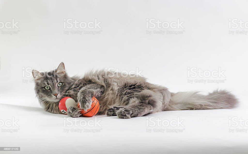 Chewie the cat playing with two balls stock photo